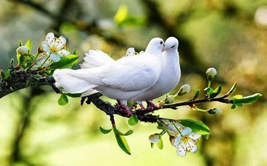 Beyaz Güvercin Türleri Ve özellikleri Guvercinlergentr