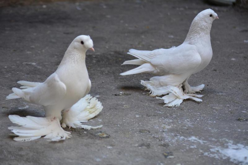 Güvercin Fiyatları Guvercinlergentr
